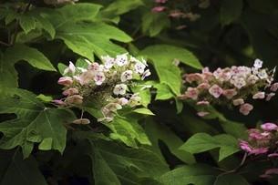 色変わりするカシワバアジサイの花の写真素材 [FYI04812884]