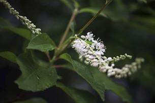 リョウブの花、雨上りに開花の写真素材 [FYI04812885]