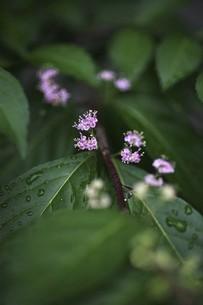 コムラサキの花、雨上りに咲くの写真素材 [FYI04812887]
