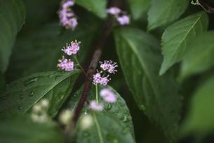 コムラサキの花、雨上りに咲くの写真素材 [FYI04812888]