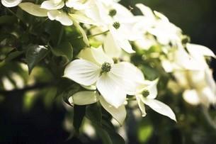 常緑ヤマボウシの花の写真素材 [FYI04812891]