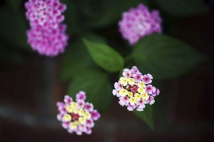 ランタナの花の写真素材 [FYI04812892]