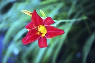 ヘメロカリスの赤い花の写真素材 [FYI04812893]