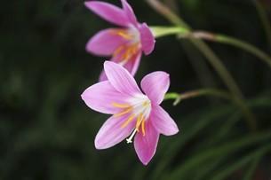 ハブランサスの花の写真素材 [FYI04812896]