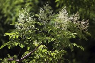 咲き始めたシマトネリコの花の写真素材 [FYI04812898]
