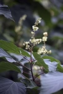 山野草・ヤブマオの花の写真素材 [FYI04812899]