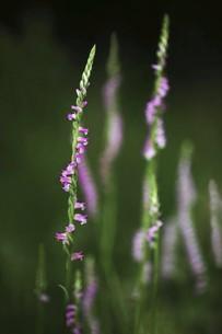 山野草・ネジバナの花の写真素材 [FYI04812900]
