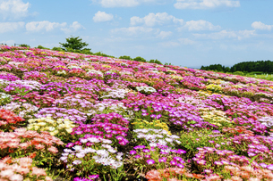 花の楽園風景 うららかな春の季節 美しい春彩畑の写真素材 [FYI04812912]