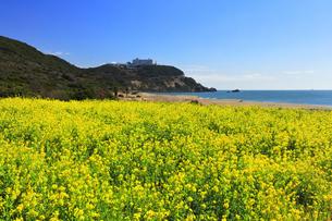 菜の花が咲く春の恋路ヶ浜の写真素材 [FYI04813129]