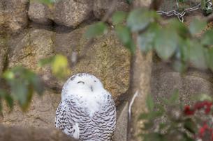 穏やかな顔のシロフクロウの写真素材 [FYI04813131]