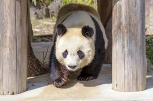 屋外で遊ぶジャイアントパンダの写真素材 [FYI04813141]