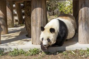 神戸・王子動物園のジャイアントパンダの写真素材 [FYI04813142]