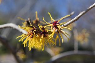 マンサクの花の写真素材 [FYI04813191]