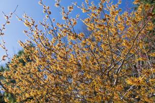 マンサクの花の写真素材 [FYI04813192]