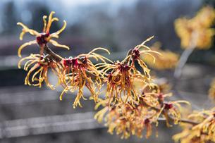 マンサクの花の写真素材 [FYI04813193]