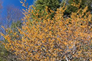 マンサクの花の写真素材 [FYI04813194]