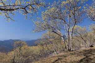 宝登山ロウバイ園の写真素材 [FYI04813213]