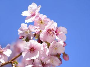 サクラの花の写真素材 [FYI04813389]