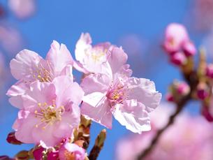 サクラの花の写真素材 [FYI04813435]