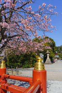 鶴岡八幡宮の桜と朱塗りの欄干の写真素材 [FYI04813606]