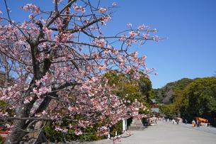 鶴岡八幡宮の桜と境内と青空の写真素材 [FYI04813642]