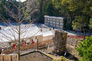 鶴岡八幡宮倒木した大銀杏の幹とひこばえの写真素材 [FYI04813649]