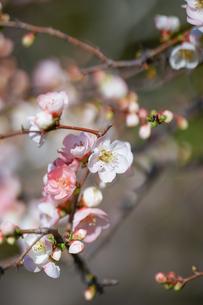 長谷寺の木瓜の花の写真素材 [FYI04813660]