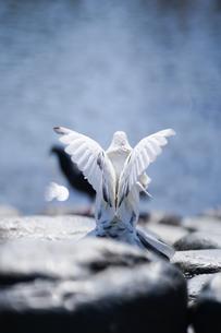 鶴岡八幡宮の白鳩の写真素材 [FYI04813682]