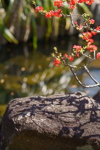長谷寺の木瓜の花と岩に落ちた影の写真素材 [FYI04813685]