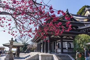 長谷寺観音堂と寒緋桜の写真素材 [FYI04813701]