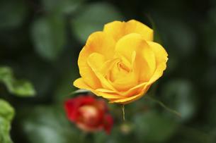 黄色い薔薇の花の写真素材 [FYI04813775]