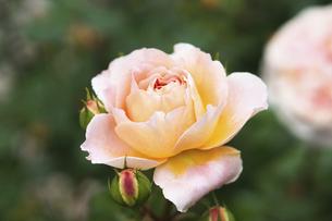 ピンクベージュの薔薇の花の写真素材 [FYI04813779]