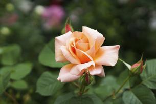 ピンクベージュの薔薇の花の写真素材 [FYI04813780]