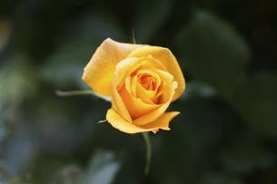 黄色い薔薇の花の写真素材 [FYI04813781]