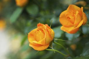 黄色い薔薇の花の写真素材 [FYI04813782]