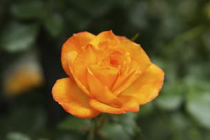 黄色い薔薇の花の写真素材 [FYI04813785]