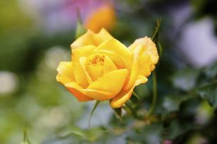 黄色い薔薇の花の写真素材 [FYI04813786]