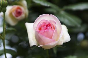 淡いピンクの薔薇の花の写真素材 [FYI04813789]