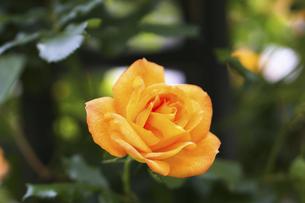 黄色い薔薇の花の写真素材 [FYI04813790]