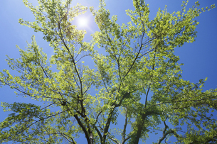 新緑と太陽の輝き(アキニレの木)の写真素材 [FYI04813792]