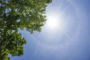 新緑のメタセコイアと太陽の暈の写真素材 [FYI04813793]