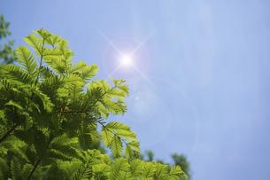 新緑のメタセコイアと太陽の輝きの写真素材 [FYI04813794]
