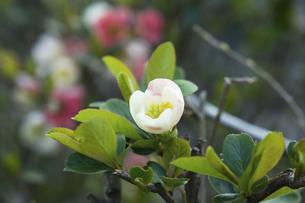 ぼけの白い花の写真素材 [FYI04813795]