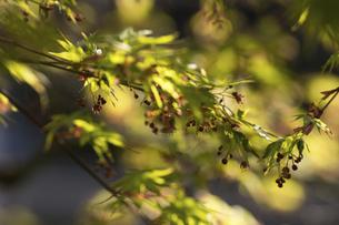 新緑の楓の写真素材 [FYI04813805]