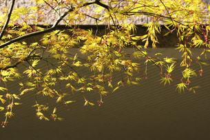 新緑の楓の写真素材 [FYI04813806]