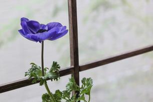 窓辺で撮影したアネモネの写真素材 [FYI04813816]
