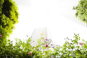 バラの花と武蔵小杉の高層マンションの写真素材 [FYI04814025]