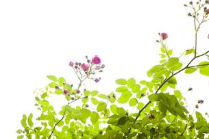 薔薇の花の写真素材 [FYI04814026]