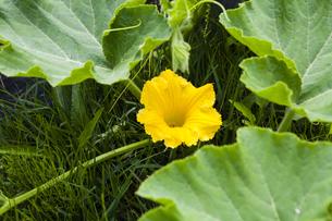カボチャの花の写真素材 [FYI04814140]
