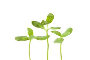 新芽の写真素材 [FYI04814200]